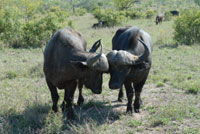 Bufalo roam in Gorongosa