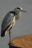 Gorongosa birdlife includes herons along the waterways
